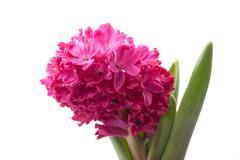 Pink hyacinth on white background - stock photo
