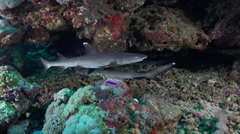 White tip reef sharks hidden in a hole, lying on the sea floor - Red Sea - stock footage