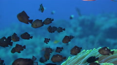 School of small black fish in anemone - Three-spot Dascyllus  Stock Footage