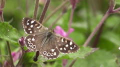 Speckled Wood butterfly (Pararge aegeria) - stock footage