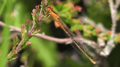 Stock Video Footage of Scarce Blue-tailed Damselfly (female) Close-up