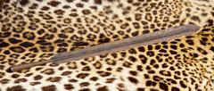 African Maasai lion spear head on leopard skin. Kuvituskuvat