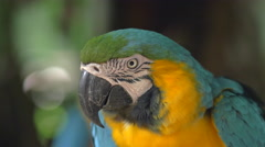 Blue-and-Gold Macaw in Natural Setting Near Iguazu Falls, Foz do Iguacu, Brazil Stock Footage