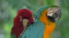 Scarlet and Blue-and-Gold Macaws in Natural Setting, Foz do Iguacu, Brazil Stock Footage