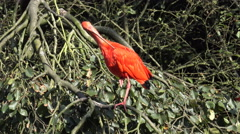 4k Red scarlet ibis on sunny tree cleaning feathers Stock Footage