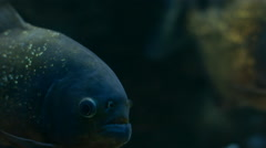 Piranha Swims in the Aquarium Stock Footage
