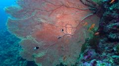 giant sea fan gorgonian on coral wall - Annella Mollis, Red Sea - stock footage