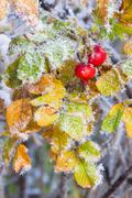 Red rose hip and frozen leaves. - stock photo