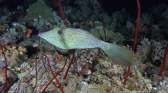 Scrawled filefish change color and texture at night. Colorful fish camouflage, - stock footage