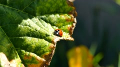 Ladybird beetles resting on a leaf in spring - stock footage