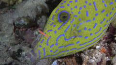 Scrawled filefish close up at night. Aluterus scriptus. Red sea Stock Footage