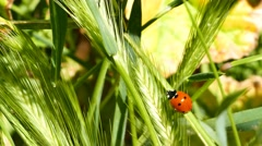 Ladybird beetles resting on a leaf in spring Stock Footage