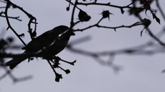 Small Bird Silhouette - stock footage