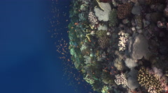 Tropical coral garden, coral reef - Red Sea. Colorful reef and the deep blue Stock Footage