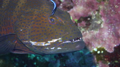 Cleaner wrasse fish cleaning the Red sea coral grouper at cleaning station - stock footage