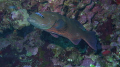 Cleaner wrasse fish cleaning the Red sea coral grouper at cleaning station Stock Footage