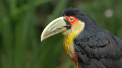 Exotic Green-Billed Toucan Bird in Natural Setting in Foz do Iguacu, Brazil Stock Footage
