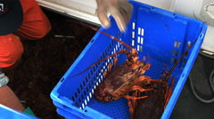 Unloading a catch of southern rock lobster into blue crate Stock Footage