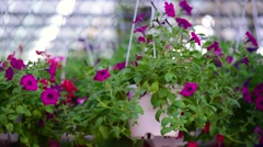 Decorative flowers in the pot. decorative plant Stock Footage
