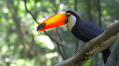 Exotic Toucan Bird Taking Flight in Natural Setting, Foz do Iguacu, Brazil - stock footage
