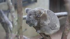 Australian Koala Bear with her baby - stock footage