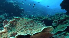 Leaf corals in coral garden - underwater landscape, Red Sea Stock Footage