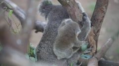 Australian Koala Bear with her baby Stock Footage