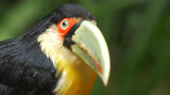 Close Up of Green-billed Toucan Bird in Natural Setting in Foz do Iguacu, Brazil Stock Footage