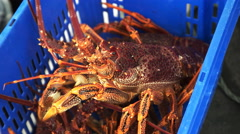Large freshly caught southern rock lobster Stock Footage