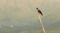 Lonely raven sitting on a wooden stick. Srinagar, India Stock Footage