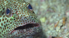 Cleaner shrimp cleaning greasy grouper fish at cleaning station. Red sea, Sudan - stock footage