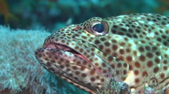 Greasy grouper fish lying on the sea floor - Red Sea - stock footage