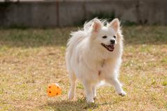 Happy Spitz dog playing at a park with a ball. - stock photo