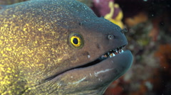 Yellowmargin moray eel close up shot - Gymnothorax flavimarginatus, Red Sea Stock Footage