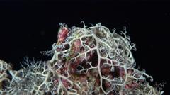 Basket starfish closing at night - Astroboa Nuda, Red Sea - stock footage