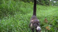 coati sniff in grass - Costa Rica, Coatimundi, pizote - stock footage