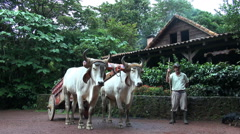 traditional South American cow with farmer - Costa Rica - stock footage