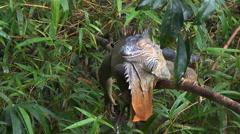 Male iguana resting on tree - Costa Rica rainforest Stock Footage