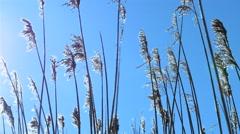 Reed tips sunlight Stock Footage