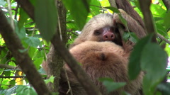 sloth on tree - Costa Rica, rainforest - stock footage