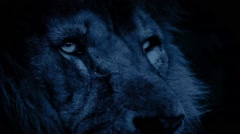 Powerful Lion Face Looking Around At Night Stock Footage