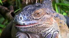 Male iguana head  - Costa Rica rainforest Stock Footage