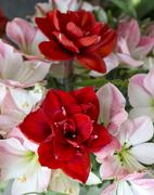amaryllis flowers in red and light pink - stock photo