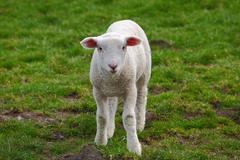 Lamb in green meadow - stock photo