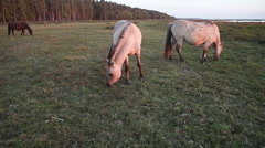 Horse herd grazing on pasture in late sunset light. Stock Footage