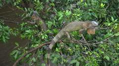 Iguana resting on a tree - Costa Rica rainforest Stock Footage