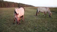Two grey horses on lake shore pasture in late sunset light. Stock Footage