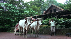 Traditional South American cow with farmer - Costa Rica Stock Footage