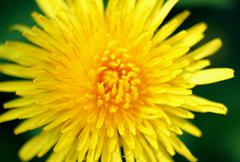 Beautiful fresh yellow flower heads,over green natural background Stock Photos