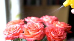 Hand spraying red roses at home Stock Footage